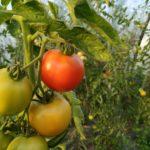Les tomates mûrissent dans la serre en attendant d'être cueillies